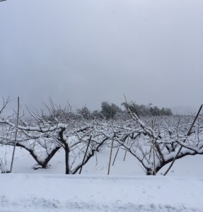 雪の柿の木
