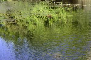 新緑 水面