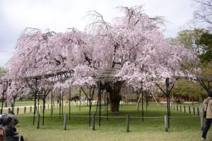 18.04.05上賀茂神社枝垂れ桜