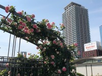 19.05.13 中之島薔薇園10