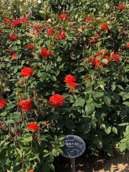 19.05.13 中之島薔薇園3