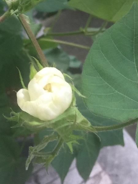 17.09.11 綿の花3