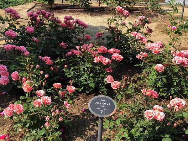 19.05.13 中之島薔薇園4