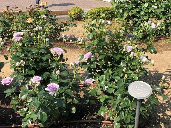 19.05.13 中之島薔薇園2